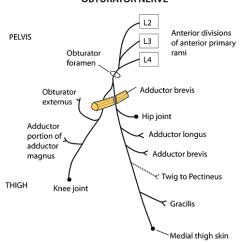 Lower Leg Nerve Diagram 1967 Vw Beetle Wiring Instant Anatomy Limb Nerves Obturator
