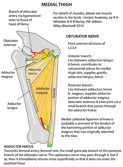 medial lower leg muscles diagram that includes major instant anatomy limb areas organs thigh adductors