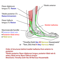Medial Lower Leg Muscles Diagram Two Wire Thermostat Wiring Instant Anatomy Limb Areas Organs Tendons At Malleoli