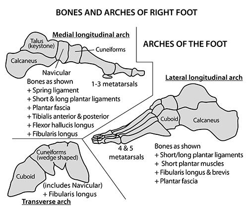 keystone arch diagram wye delta wiring motor instant anatomy lower limb areas organs foot arches