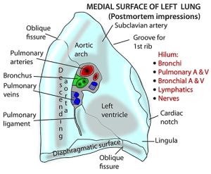 Instant Anatomy  Thorax  AreasOrgans  Respiratory