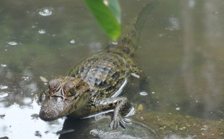 Baby Caiman
