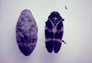 insecto plaga de la Caña de Azúcar Aeneolamia varia (Homóptera: Cercospidae)