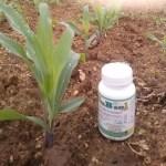 Microbiolizacion de la semilla en maíz con Subiol plus