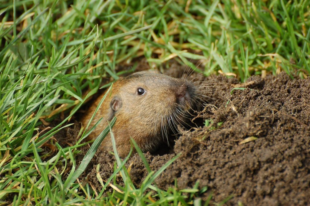 Gopher Removal