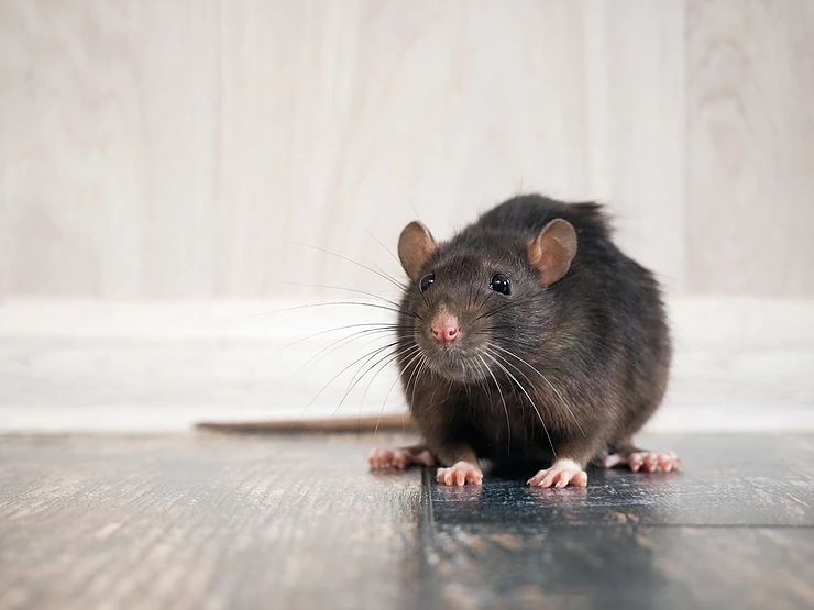 Warning Signs That You Have a Rodent Problem in Your Attic