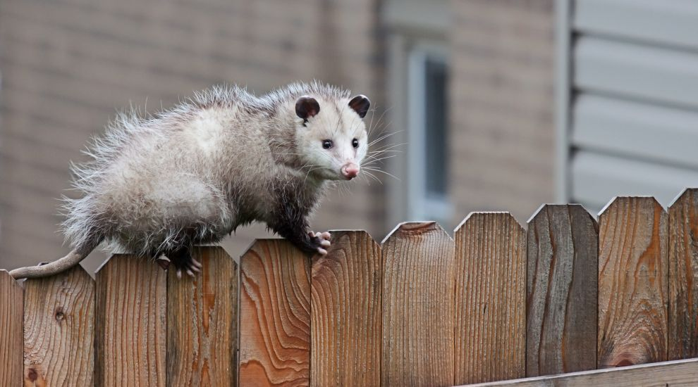 Opossum Removal
