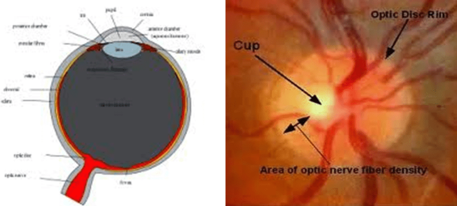 human eye diagram blind spot internet wiring the optic nerve in glaucoma intechopen figure 3 schematic of
