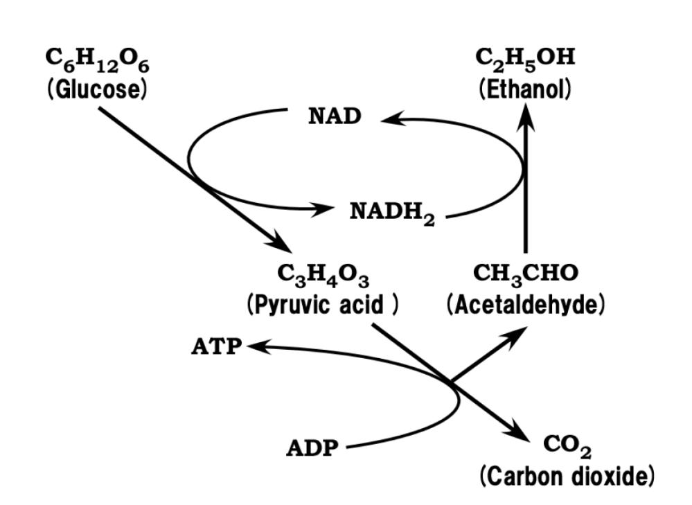 medium resolution of figure 5 ethanolic fermentation metabolism chart