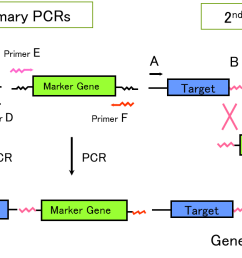 figure 2 schematic diagram of pcr dependent  [ 1487 x 671 Pixel ]