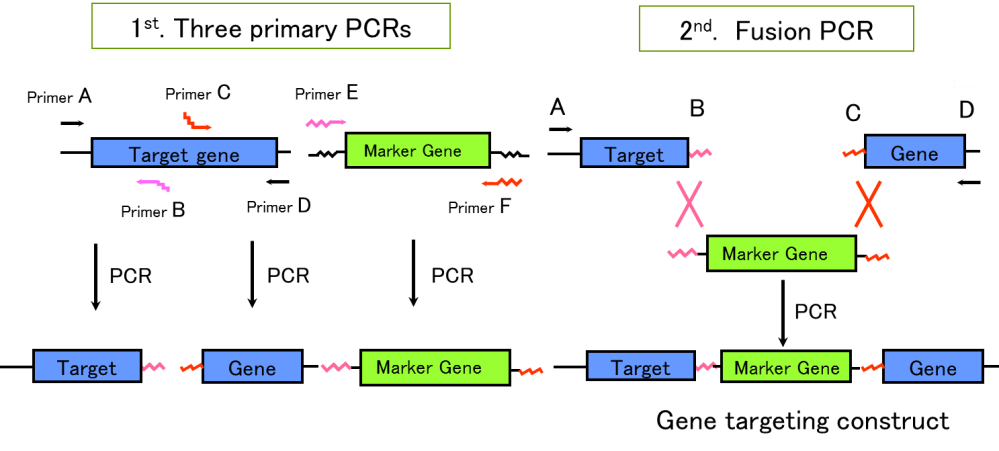medium resolution of figure 2 schematic diagram of pcr dependent