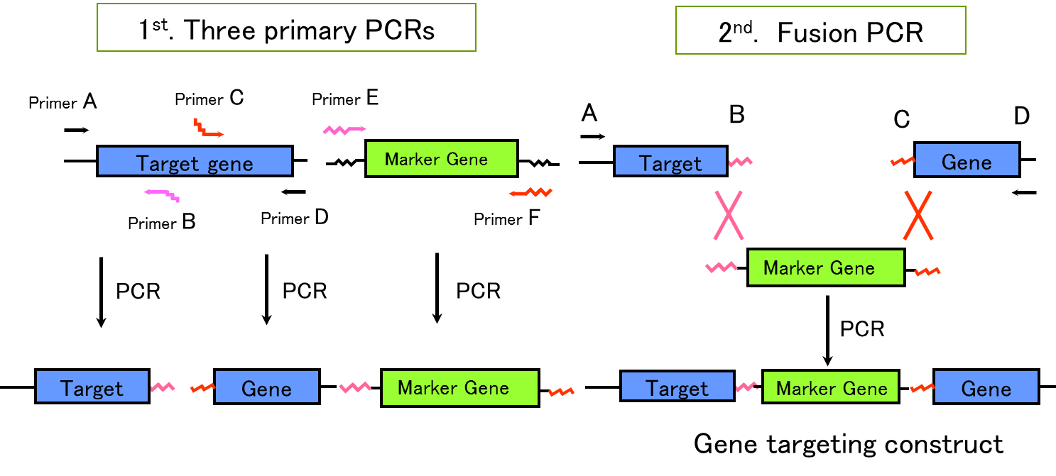 hight resolution of figure 2 schematic diagram of pcr dependent