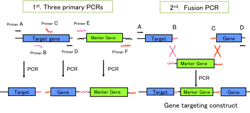 small resolution of figure 2 schematic diagram of pcr dependent