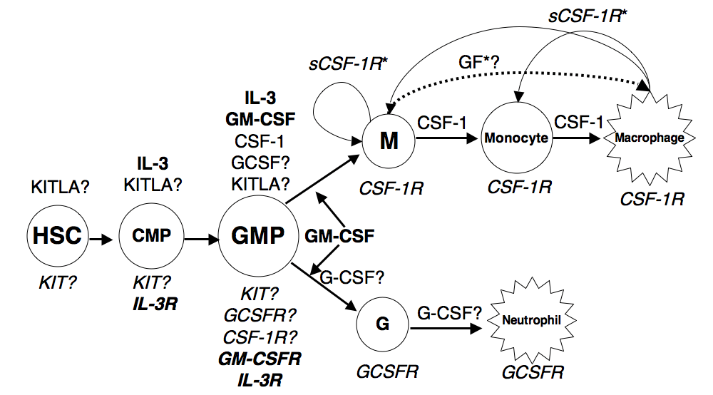 Regulation of Teleost Macrophage and Neutrophil Cell