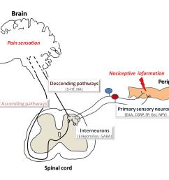 figure 1 schematic diagram of pain pathways  [ 3497 x 2991 Pixel ]