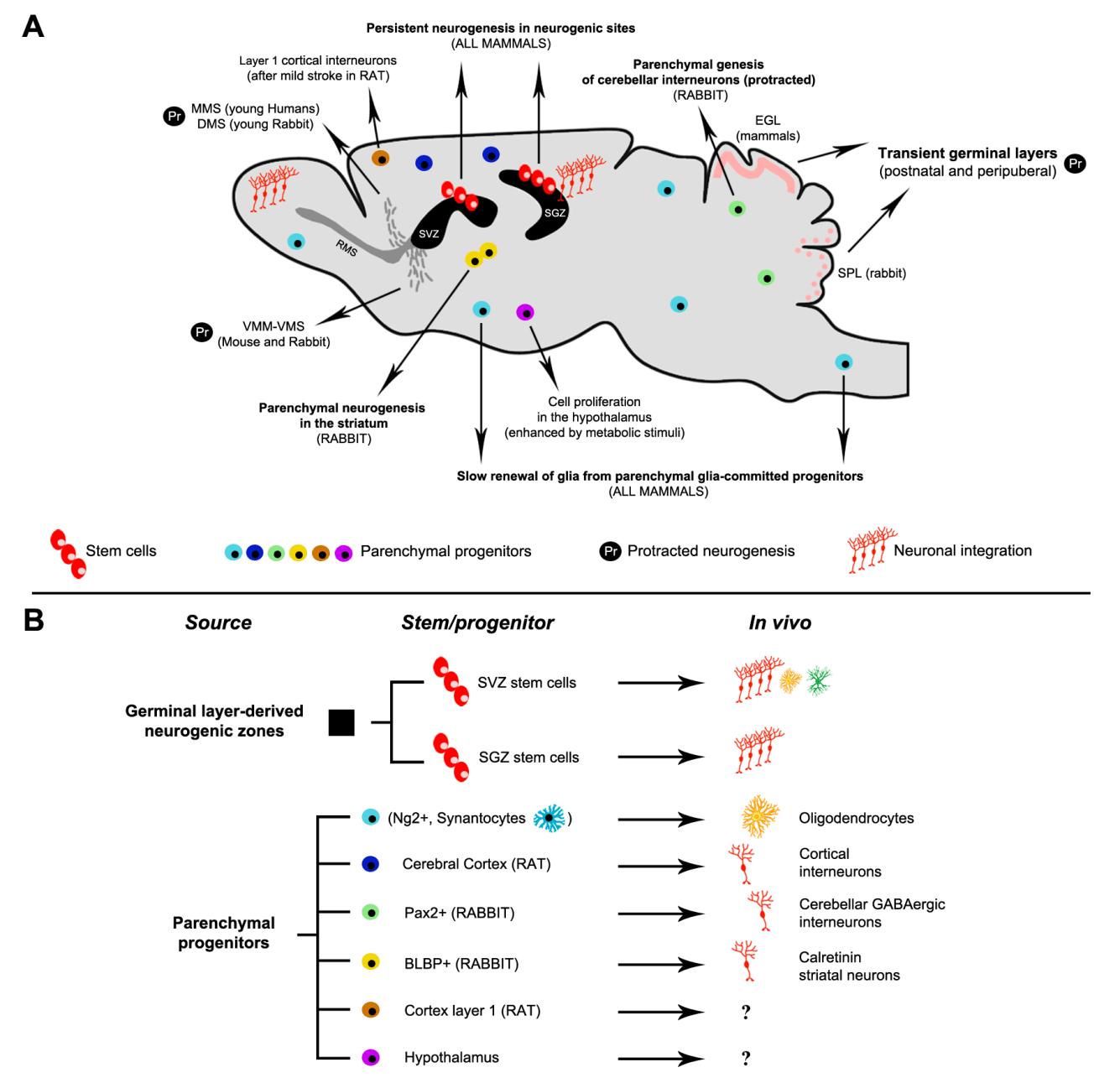 Parenchymal Neuro Glio Genesis Versus Germinal Layer