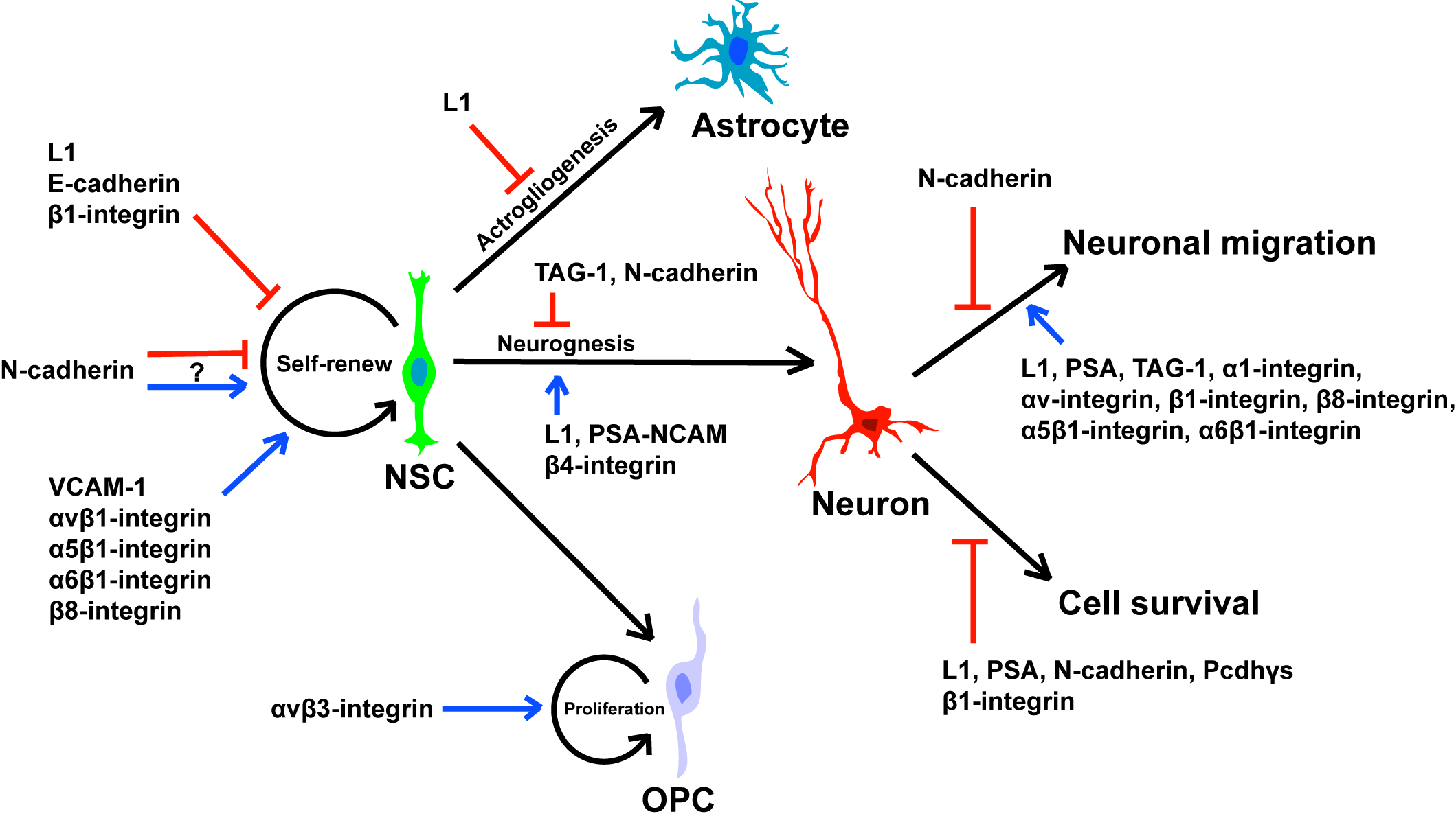 Cell Adhesion Molecules In Neural Stem Cell And Stem Cell