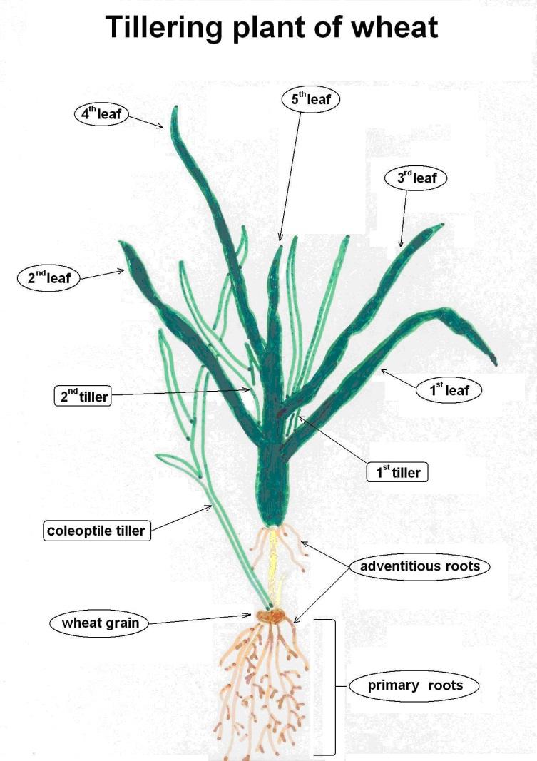 medium resolution of figure 2 illustration of tillering wheat plant