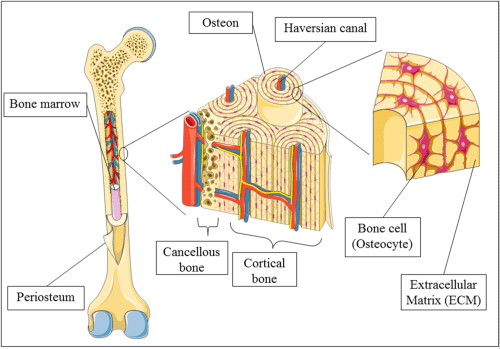 small resolution of bone tissue diagram wiring diagram yer bone tissue diagram