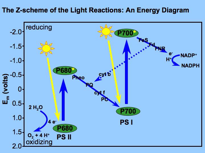 photosynthesis z scheme diagram 5 sphere fillable venn quantum yields in aquatic intechopen figure 2 the of