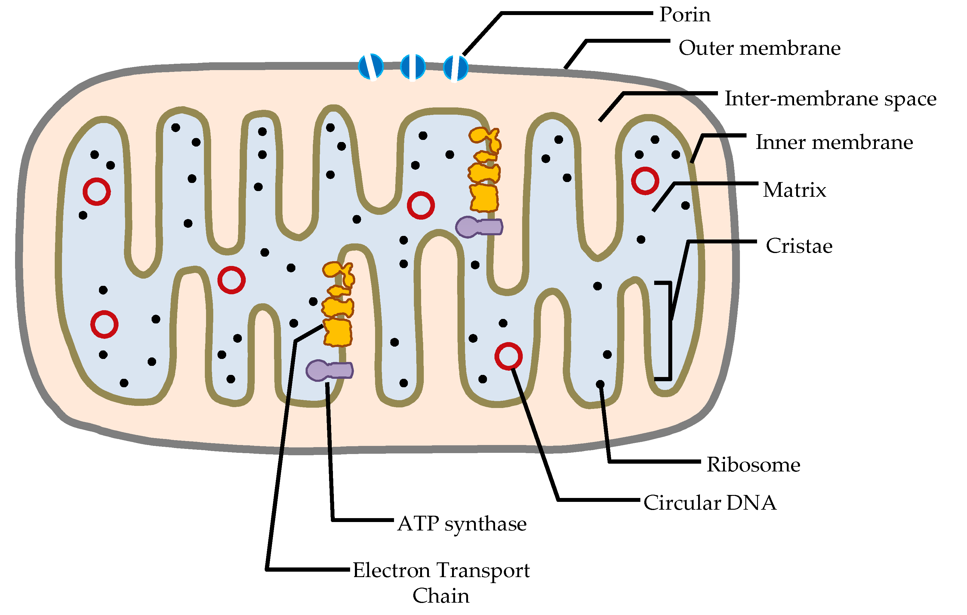 mitochondrion structure diagram rosemount 3051 pressure transmitter wiring understanding mitochondrial dna in brain tumorigenesis intechopen figure 1 the of a