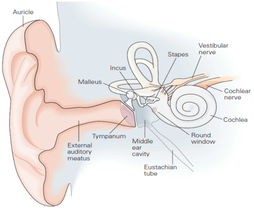 small resolution of figure 2 the structure of the human ear