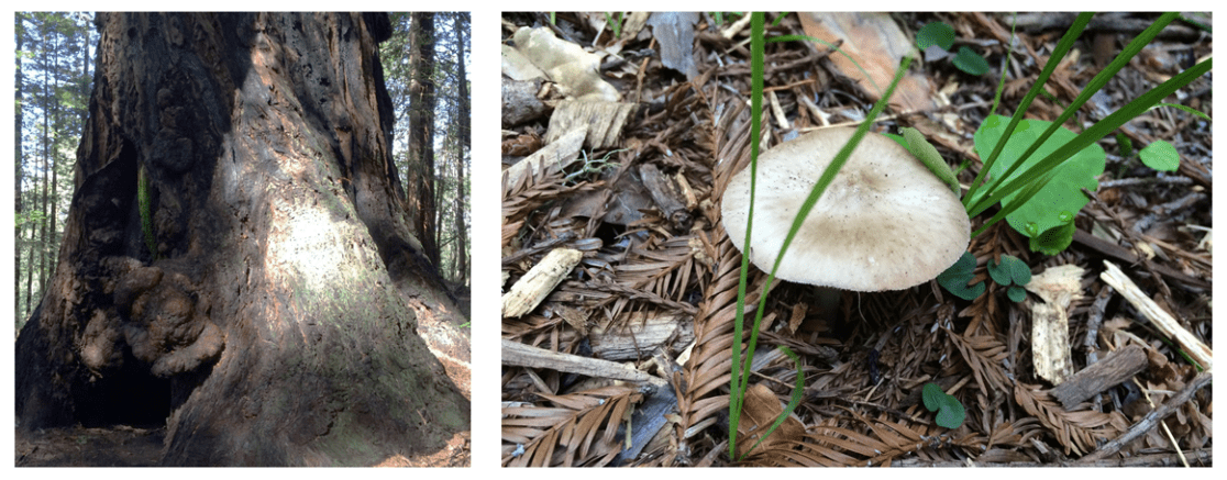 "Mutualisms abound in the Redwood grove we visited, including the ""batcave, where the Redwood tree provides a home for bats, who in turn fertilize the tree with their poop. Mushrooms such as mycorrrhizae and mycelia also provide nutrients (e.g. nitrogen) to the trees in exchange for food (sugars)"