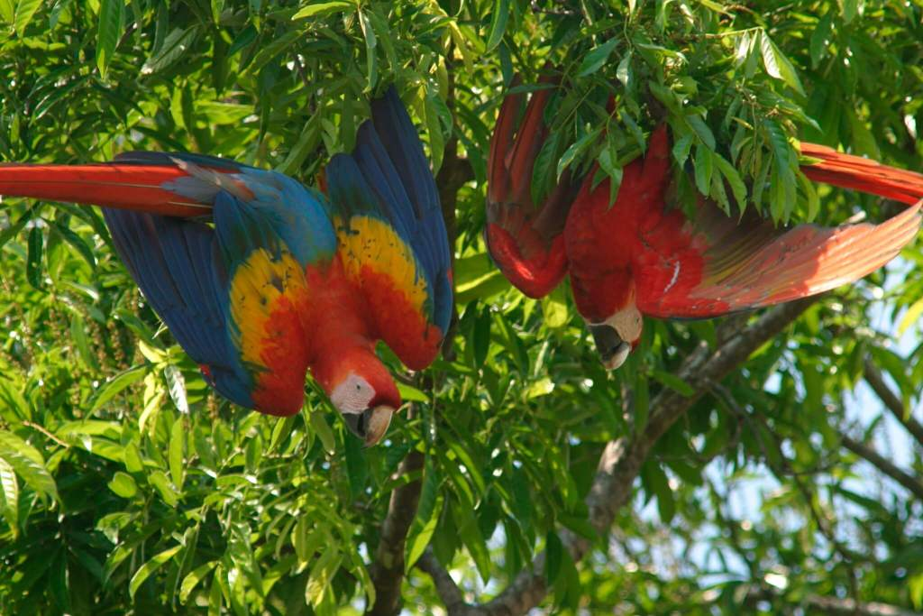 Macaws in the tree cover of Costa Rica
