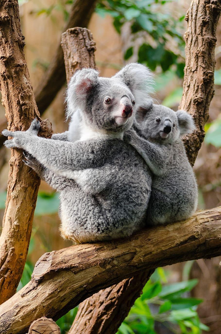 Australian Wildfires Put Koalas In Threat Of Extinction Intelligent Living