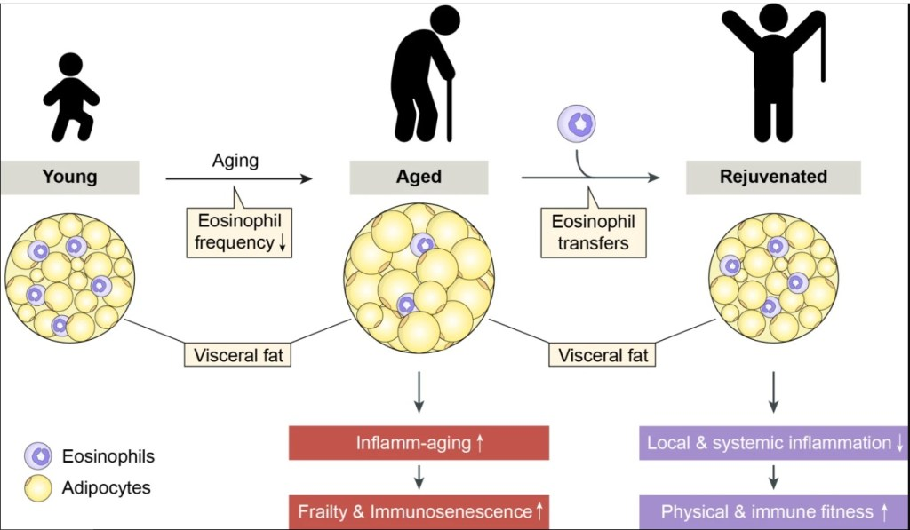 Eosinophils From Belly Fat Can Rejuvenate The Elderly