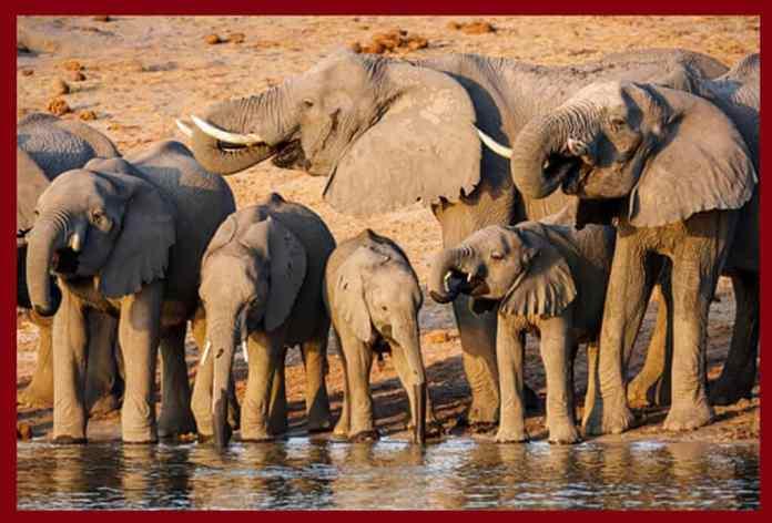 Elephants drinking in the Okavango River