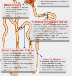 nephrons function of the various segments of the renal tubule [ 750 x 1404 Pixel ]