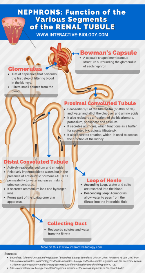 small resolution of nephrons function of the various segments of the renal tubule