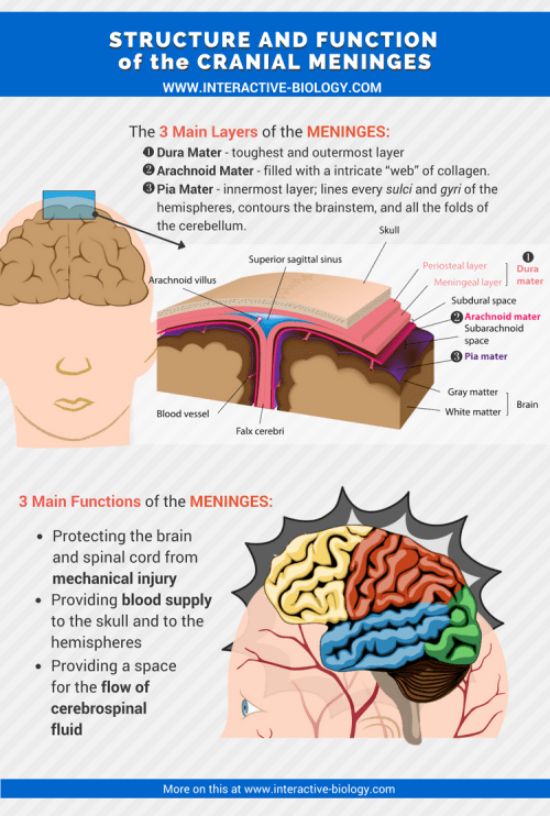 small resolution of structure and funtion of the meninges