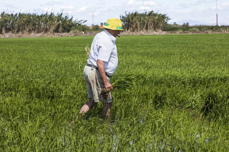 AVA-ASAJA estima un descenso del 10% del arroz valenciano por la presencia récord de malas hierbas