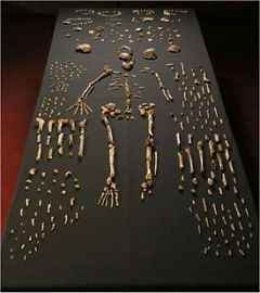 Homo_naledi_skeletal_specimens