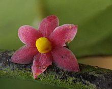 Sirdavidia_solannona_Couvreur_&_Sauquet_(staminate_flower)
