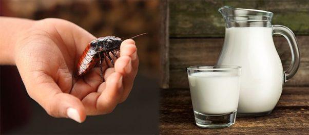 cockroach milk