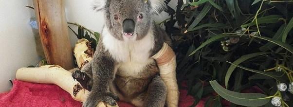 koala spotter