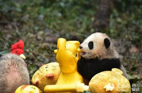 panda cubs New Year