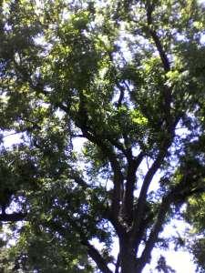 walnut tree up close image