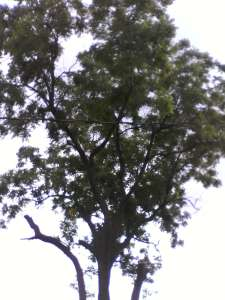 walnut tree end of first day image