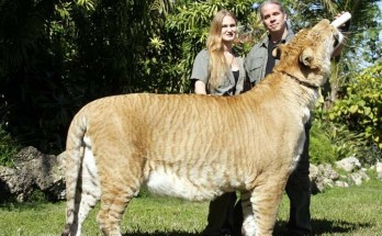 what is a liger