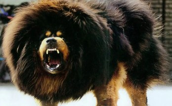 tibetan mastiff facts