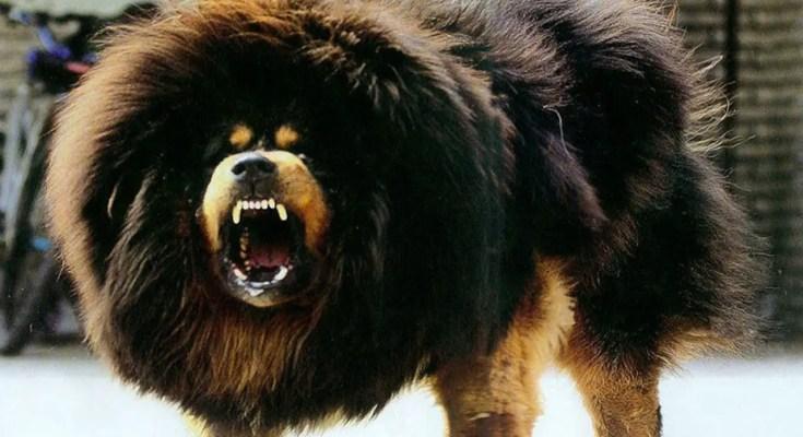 tibetan mastiff facts