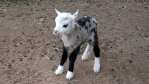 Goat and Sheep is hybrid called Geep