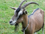 What Does GOAT Mean