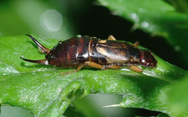 facts about earwigs