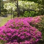 ツツジと白藤の花