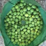 2015収穫の梅の実